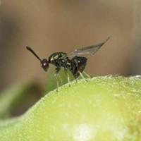 La Junta descarta la suelta generalizada del parásito contra la avispilla del castaño en el Valle del Genal