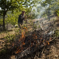 Comienza la tala y quema de castaños infectados por la avispilla