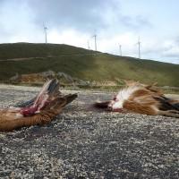 Hallan dos cadáveres de buitres leonados en un parque eólico de la comarca de Guadalteba