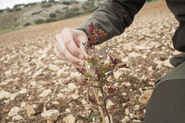 El cultivo del pistacho se pone de moda en la comarca de Ronda