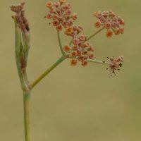 Plantas de la Serranía de Ronda: Hinojo de sangre (Foeniculum sanguineum)