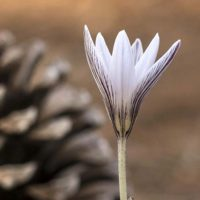 Plantas de la Serranía de Ronda: Azafrán de Sierra Nevada (Crocus nevadensis)