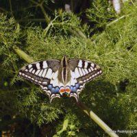Fauna de la Serranía de Ronda: Mariposa Macaón (Papilio Machaon)