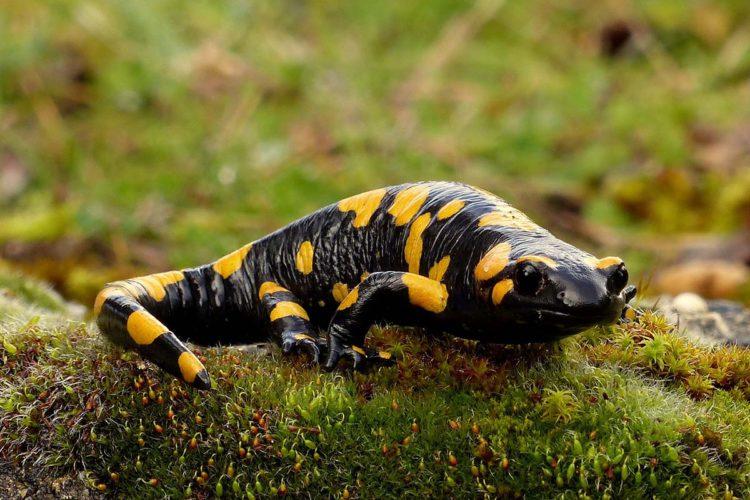 Fauna de la Serranía de Ronda: Salamandra común (Salamandra longirostris)