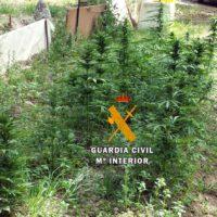 La Guardia Civil desmantela una plantación de marihuana en Arriate y detiene al joven que la mantenía