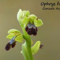 Orquídeas de la Serranía de Ronda: Orquídea Abejera oscura (Ophrys fusca)