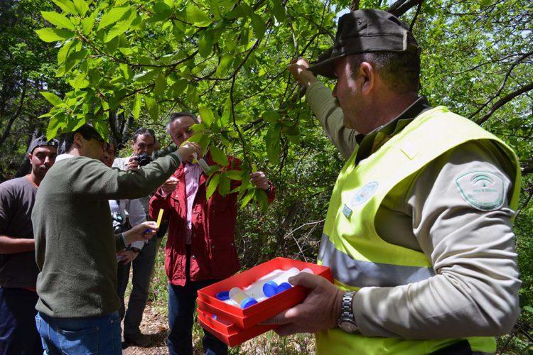 El PP reclama a la Junta medidas contra la avispilla del castaño y exige la suelta del 'torymus' en el Valle del Genal