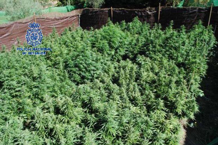 La Policía Nacional localizó un total de 1.275 plantas de marihuana en la operación que realizó a principios de julio en una finca de Ronda