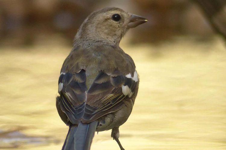 Fauna de la Serranía de Ronda: Pinzón Vulgar (Fringilla coelebs)