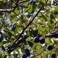 Plantas de la Serranía de Ronda: Ciruelo silvestre (Prunus insititia)