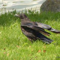 Fauna de la Serranía de Ronda: Cuervo (Corvus corax), un ave muy inteligente pero rencorosa