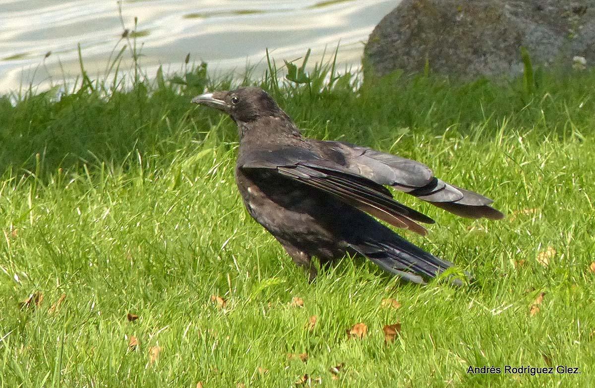 Fauna de la Serranía de Ronda: Cuervo (Corvus corax), un ave muy ...