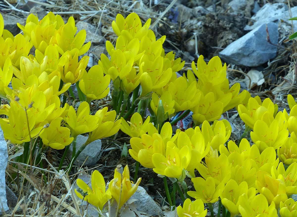 Este tipo de plantas crece habitualmente en la Sierra de Grazalema. Foto  Andrés Rodríguez.