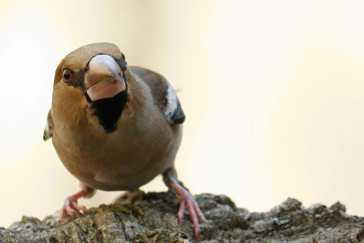 Fauna de la Serranía de Ronda: Picogordo (Coccothraustes coccothraustes)