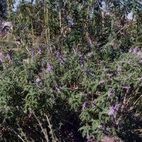 Plantas medicinales de la Serranía de Ronda: Salvia (Salvia officinalis)