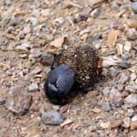 Fauna de la Serranía de Ronda: Escarabajo pelotero (Scarabaeus laticollis)