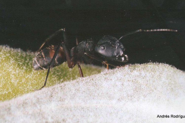 Hormigas de la Serranía de Ronda: Camponotus cruentatus