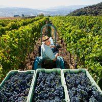 Los viñedos de la Serranía conforman una de las diez rutas gastronómicas 'Andalucía, paisajes con sabor'