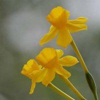 Plantas de la Serranía de Ronda: Narciso amarillo (Narcissus assoanus)