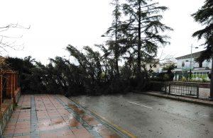 Un pino ha caído en la avenida Martínez Astein.