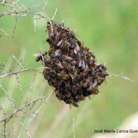 Fauna de la Serranía de Ronda: enjambre de abejas
