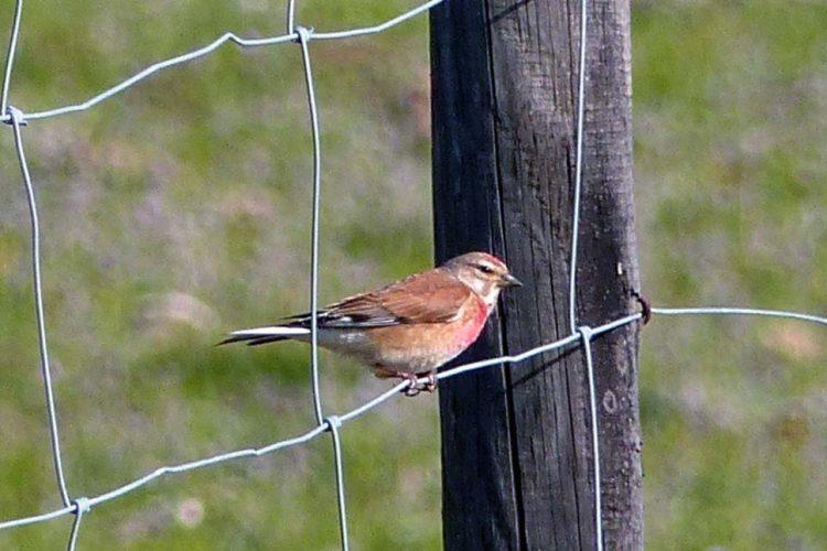 Fauna de la Serranía de Ronda: Pardillo común (Carduelis cannabina)