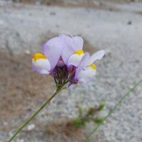 Fauna de la Serranía: Linaria de Clemente, Palomita de Clemente (Linaria clementei)