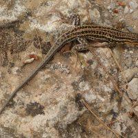 Fauna de la Serranía de Ronda: Lagartija colirroja (Acanthodactylus erythrurus)