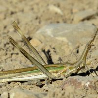 Fauna de la Serranía de Ronda: Saltamontes narigudo (Truxalis nasuta)