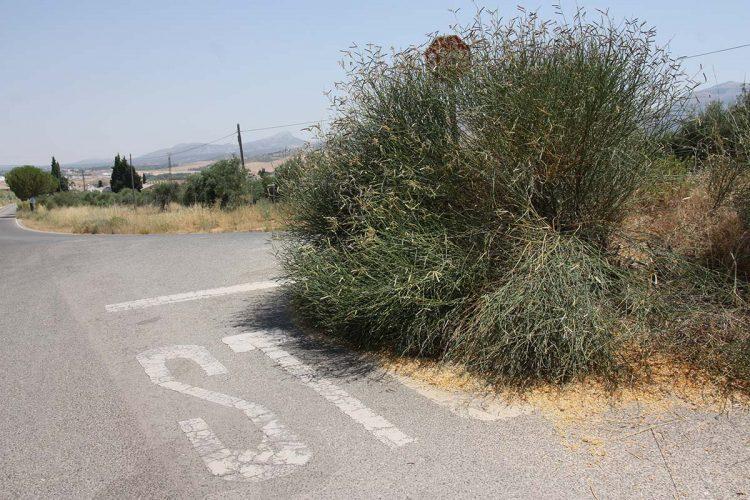 Vecinos y turistas protestan por la existencia de un cruce muy peligroso por acumulación de maleza en una de las entradas a Ronda