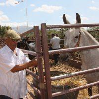 Trashumancia y novillada. Feria de Ganado y Toros en las Fiestas de Pedro Romero