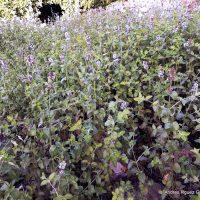 Plantas de la Serranía: Menta rizada, hierba santa, la joya de la salud