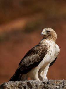 Águila Calzada. Foto Gonzalo Astete.