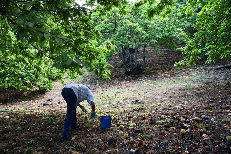 Las lluvias de mediados de septiembre retrasan la recolección de la castaña del Genal