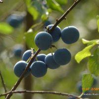 Plantas de la Serranía de Ronda: Endrino (Prunus spinosa); de donde sale el pacharán