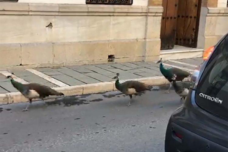 Un grupo de pavos sueltos se pasea por la calle Arminán provocando retenciones de tráfico y numerosas risas