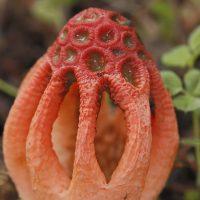 Setas de la Serranía de Ronda: Colo rojizo (Colus hirudinosus)