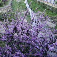 Plantas de la Serranía de Ronda: Árbol del amor; árbol de Judas (Cercis cilicuastrum)