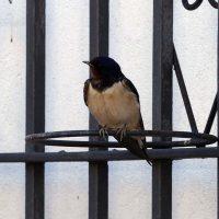 Fauna de la Serranía de Ronda: Golondrina común (Hirundo rustica)