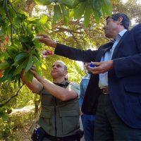 La Junta inicia la suelta del Torymus Sinensis, el depredador biológico, para luchar contra la avispilla en los castaños del Genal