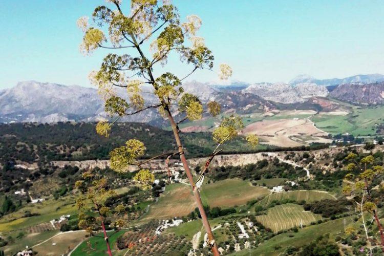 Plantas de la Serranía: Cañaheja (Ferula communis), una hierba gigante y venenosa