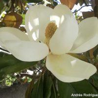 Plantas de la Serranía de Ronda: Magnolia, magnolio blanco (Magnolia grandiflora)