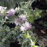 Plantas de la Serranía de Ronda: Poleo. Menta poleo (Mentha pulegium)