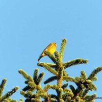Fauna de la Serranía de Ronda: Verderón (Chloris chloris)