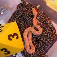 La Guardia Civil detiene en Ronda y en Fuengirola a 10 integrantes de una banda dedicada al comercio ilegal de especies protegidas