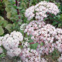 Plantas de la Serranía de Ronda: Sanalotó (Sedum telephium)