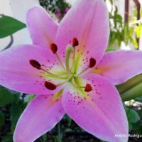 Plantas de la Serranía: Azucena bulbífera (Lilium bulbiferum)