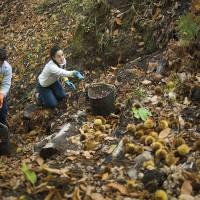 Los productores de castaña de Igualeja han paralizado la campaña de recolección. Foto de archivo.