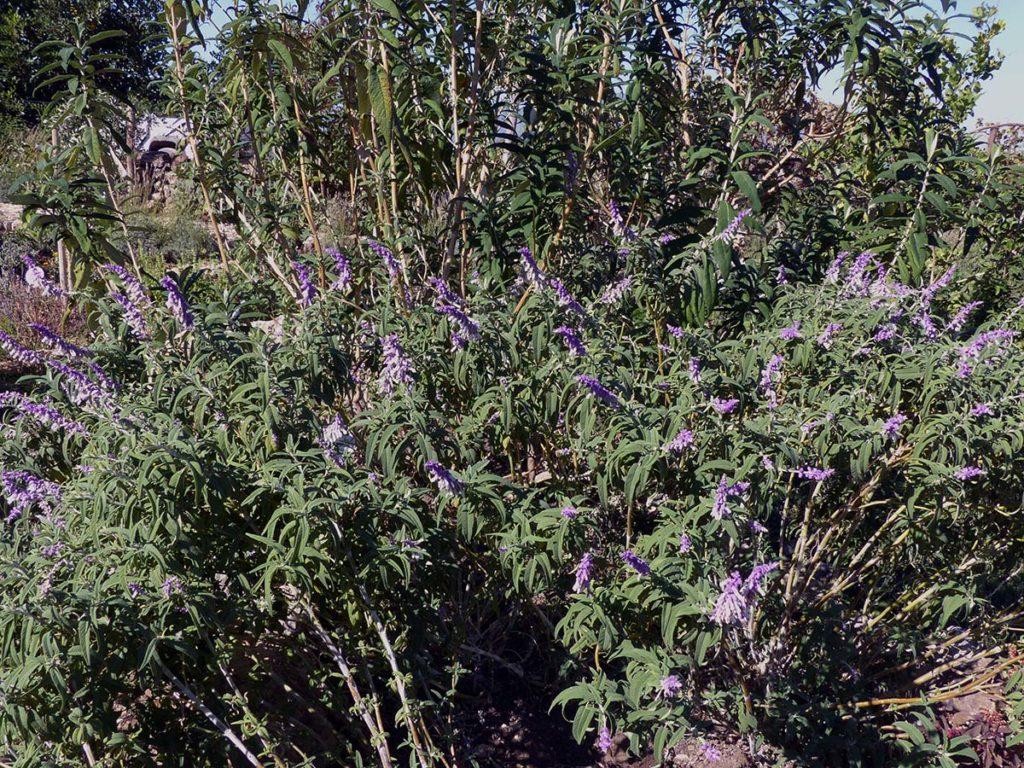 Plantas Medicinales De La Serranía De Ronda Salvia Salvia Officinalis Diario Ronda