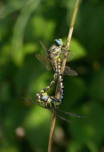 Una pareja de libélulas en el momento del acto reproductivo. Foto Gonzalo Astete.